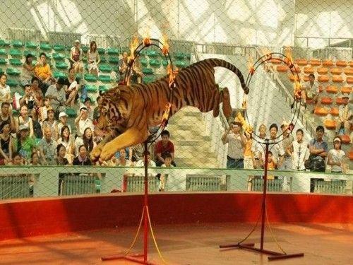 """虎林""""天下第一虎"""",北方森林动物园里的东北虎,哈尔滨东北虎林园里的"""
