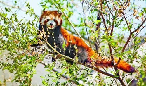 8只小熊猫来哈安新家(图)