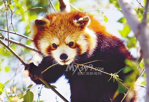十月一动物园小熊猫图片