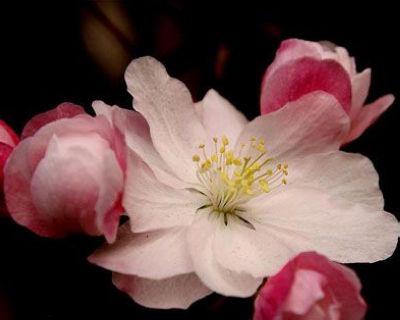 桃花型体香