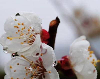 杏香型体香