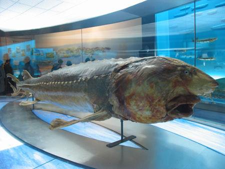 黑龙江流域博物馆展出的鳇鱼化石