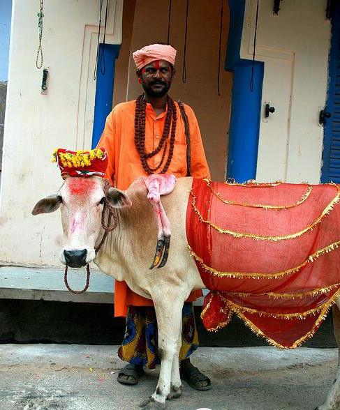 """印度大街上盛装打扮的""""神牛"""""""