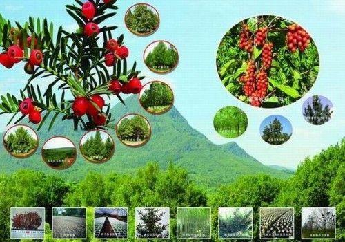 紅豆杉旅游風景區風光