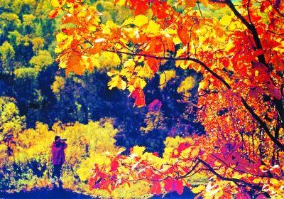 红松依然保持四季常青的风格,落叶松呈现金黄色,而枫树则是鲜红的.
