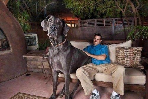 美国亚利桑那州图森市的大丹犬乔 会怎么样呢?看家护院是绝对不用