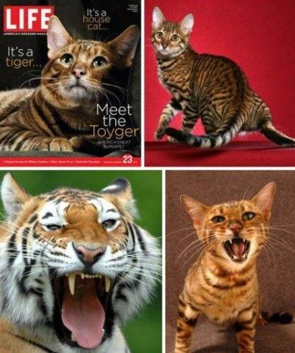 狮虎是所有猫科动物中体形最大的