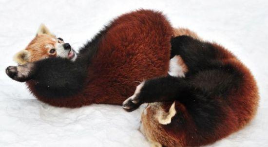 奥地利两只小熊猫雪地上演真功夫