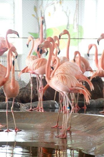 哈尔滨北方森林动物园火烈鸟9对筑巢