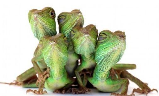 这些长鬣蜥(中国蜥蜴的一种)在拍全家福,镜头面前,它们保持着姿势,展示绿色皮肤的独特魅力。蜥蜴宝宝们虽然还小,但已经有模特风范。拍照时,6个月大的孩子们暴露淘气本性,竟爬上了父母的脑袋。蜥蜴爸爸骄傲地抬着头,表情镇静自若,任由孩子们把自己的脑袋当做长椅。    蜥蜴爸爸长约75厘米,妈妈约65厘米。蜥蜴生来喜欢爬高,这也难怪蜥蜴宝宝为什么爬上父母的头了。