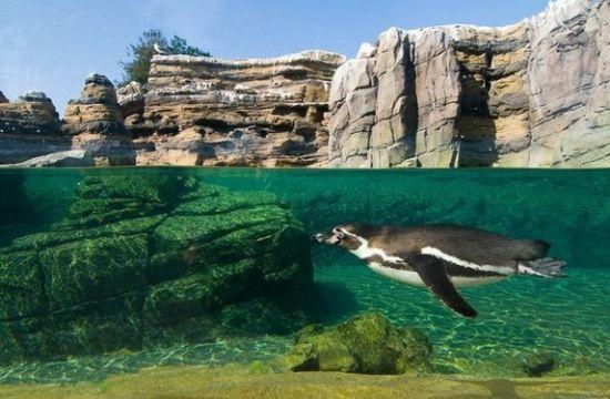 林地公园动物园   一只洪堡企鹅正在西雅图林地公园动物园的凉爽水池中畅游。这片展区已经有65年的历史,曾经是海狮的地盘,如今生活着多达60只企鹅。2009年,展区在彻底翻新之后重新开放,里面设置了沙滩、峭壁、海浪和舒适的洞穴,模拟了洪堡企鹅在原产地秘鲁的海岸家园。   动物园需要给生活在其中的动物居民创造复杂多样的栖息地环境,这就意味着相当大的能量需求。现在,许多组织机构在设计栖息地时都会考虑能源的利用效率。以林地公园动物园的企鹅展区为例,通过能源节约的设计,其每年节省2.