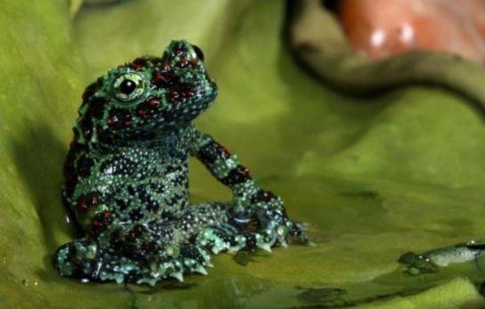 越南苔藓蛙睡莲上休憩尽显慵懒(组图)