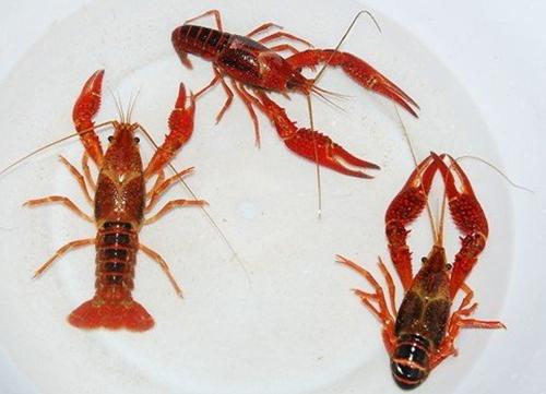 清理小龙虾: