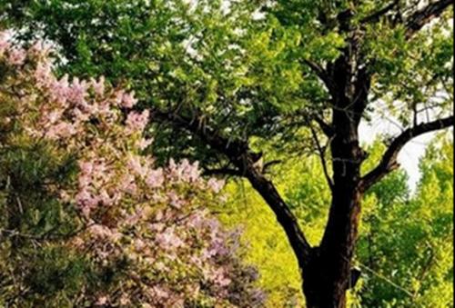 其中的核桃树树龄已近百年,几株巨大的杨树都超过70年,另有稠李,杏