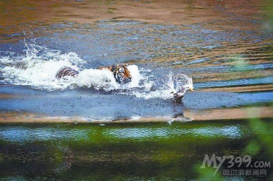 东北虎林园幼虎水中捕食.   昨天,哈市最高气温达到31.4℃,...