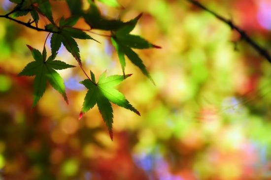 秋天枫叶变红的原因