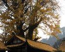 成都十大千年树王最高树龄2千余年