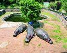 长沙生态动物园趣事多两母河马争风吃醋