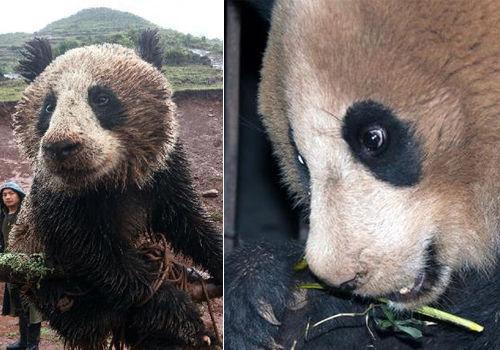 四川昭觉被营救野生大熊猫开始进食(组图)