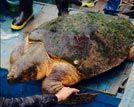 重达百斤的大海龟