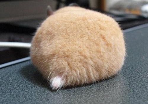 日本网上掀起拍摄仓鼠屁股风潮(组图)