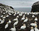 密集恐惧症者慎入数万海鸟筑巢繁殖场面壮观
