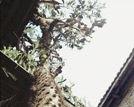 武平现7米高巨型仙人掌汁液能治烫伤