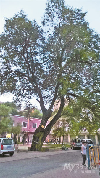 房后有棵榆树好不好