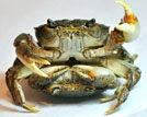 雷死人的螃蟹交配