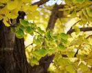 找寻北京八大百年古银杏树