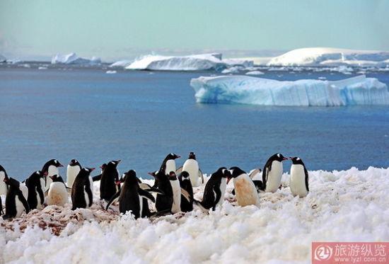 库佛维尔岛:巴布亚企鹅的幸福生活   在南极南设德兰群岛的迪塞普森岛,有一个奇特的圆形火山喷发口,这块自然形成的海港内有着被遗弃的捕鲸站,著名的赫克特捕鲸站。好在从 1961年《南极海洋生物资源养护公约》生效后,各国停止了捕鲸活动,现在的南极得以以最原始最自然的状态呈现在我们面前。登上迪塞普森岛,第一次看到的是巴布亚企鹅,混在一群懒洋洋的海豹周围,企鹅成双成对地摇摇摆摆,晃来晃去,看起来憨态可掬。同样生活着巴布亚企鹅的岛屿还有纳克港、天堂湾、库佛维尔岛。在南极洲,库佛维尔岛应该是巴布亚企鹅数量最多的