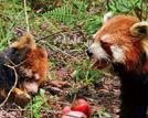 云南小熊猫地震遇难同伴伤心阻收尸