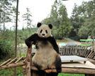 昆明动物园熊猫思嘉破坏体检仪器后卖萌