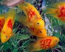 奇葩纹身鱼震惊国外的中国新制造