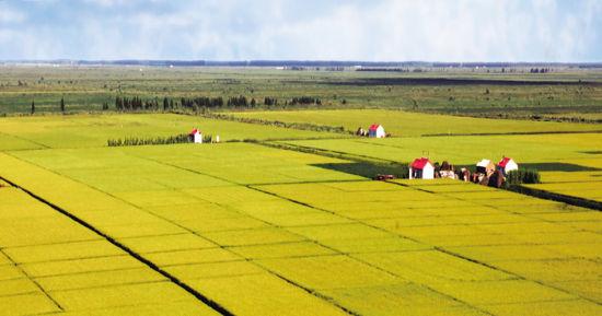 丰收在望的水稻