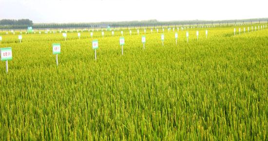 有机无公害水稻基地