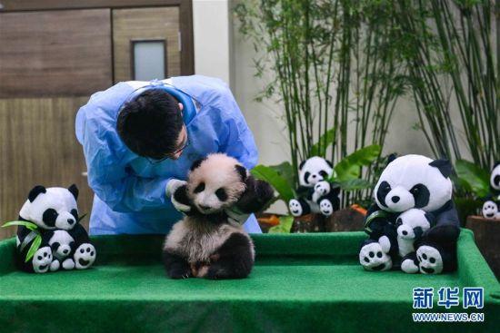 中国旅马大熊猫宝宝亮相 呆萌模样惹人爱(5)