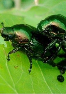 令人脸红的昆虫交配世界